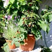 Organic Lowberry Little  Black Prince