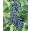 Blueberry Reka 2Ltr