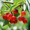 Cherry Tree - Summer Sun