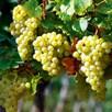 Vine Perlette 2Ltr plus bottle white wine