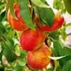Patio Tree- Nectarine Madame Blanchette