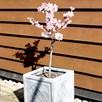 Patio Fruit Tree Peach Avalon Pride 1