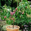 Plum Tree - Victoria