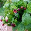Raspberry Plants - Yummy
