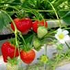 Strawberry Plants - Malling Allure