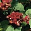 Wineberry Plant