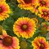 Gaillardia Plants -  Mesa Bright Bicolour