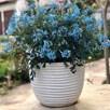 Corydalis Flexuosa Porcelain Blue
