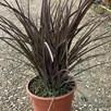 Phormium tenax Special Red 7.5 Litre Pot