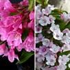 Weigela Towers of Flowers Duo