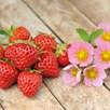 Strawberry - Just Add Cream