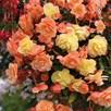 Begonia Fragrant Falls Duo