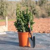 Euonymus Japonicus Green Rocket 10 Litre Pot