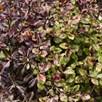 Pittosporum tenuifolium Tom Thumb