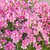 Antirrhinum Plants - Dazzling Lips Pink