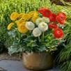 Gerbera Plants - Glorious Range