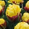 Tulip Bulbs - Ice Cream Yellow