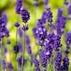 Lavender Angustifolia Vera