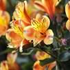 Alstroemeria Hardy Summer Breeze