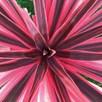 Cordyline Pink Star