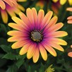 Osteospermum Plants - Purple Sun