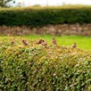Wildlife Hedge