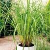 Lemon Grass Plant - P12