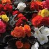 Begonia Nonstop Mixed (10)