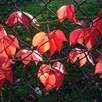 Parthenocissus quinquefolia Plant - Engelmannii