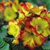 Polyanthus Plants - Firecracker