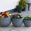 Primrose  Plants - 100 Days of Flowering Mix