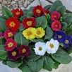 Primrose Plants -  Husky Mixed