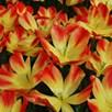 Tulip Suncatcher