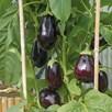 Aubergine Bonica F1 Seeds