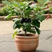 Aubergine Patio Plant - Patio Baby