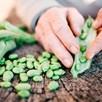 Broad Bean Seeds - Imperial Green Longpod
