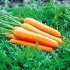 Carrot Seeds - Continuity Duo Pack