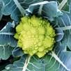 Cauliflower Colloseo (6) P9
