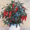 Pepper Chilli Seeds - Apache F1