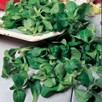 Corn Salad Seeds - Lambs Lettuce