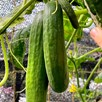 Cucumber Grafted Socrates (3)