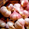 Garlic Bulbs - Garlic Lovers  Autumn Planting Collection