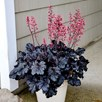 Heuchera Timeless Night