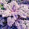 Kale Seeds - Mixed