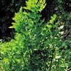 Herb - Lovage