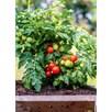 Tomato Plant - Veranda Red