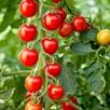 Tomato Seeds - Crimson Cherry F1