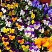Viola Plants -  Pot Pouri Mixed