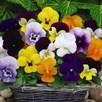 Viola Plants - Sorbet XP Mixed