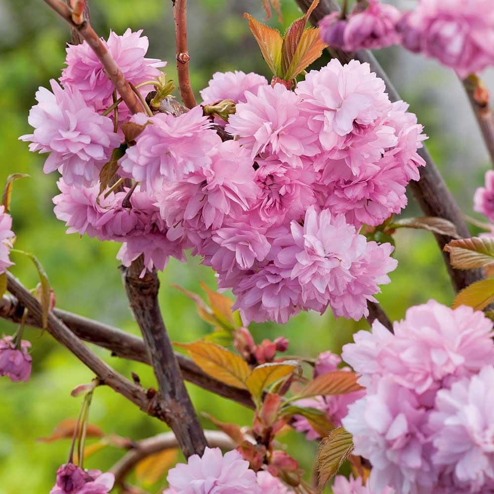 Flowering Cherry Cheals Weeping Dobies
